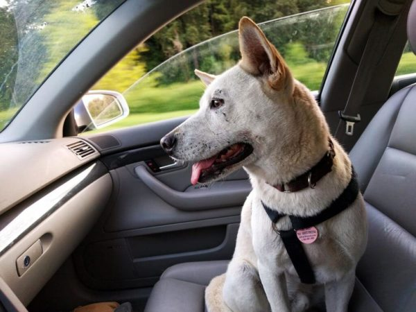 Car Insurance Add-ons to Consider - Pet Injury Coverage